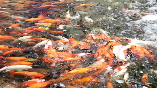 Koi Carp in pond video