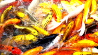 Koi Carp Slow Motion video