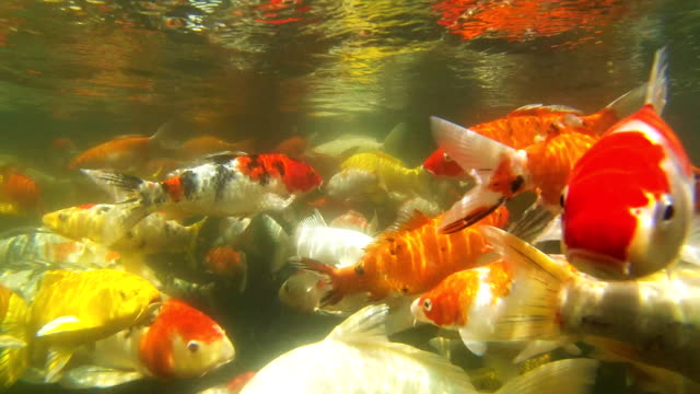 Koi Carp under water video