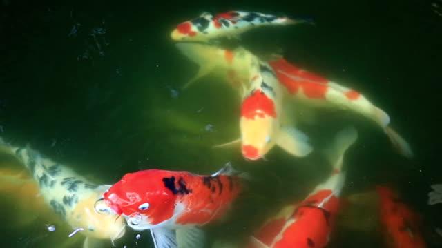 Koi Fish Carp video