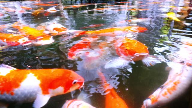 Koi fish in pond, 4k video