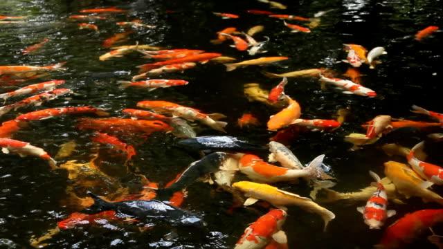 Koi Fish In Pond video