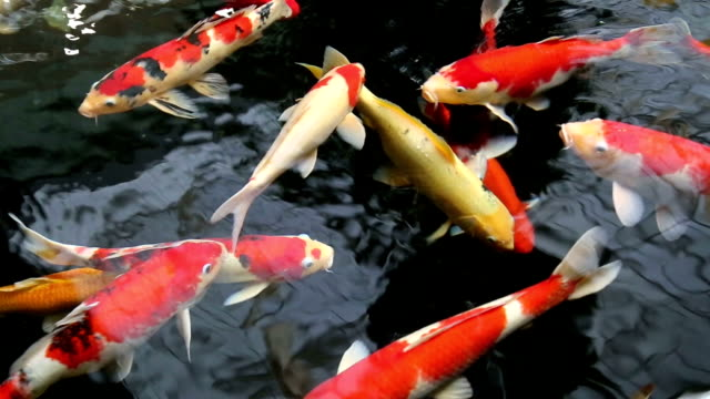 Koi fish in pond video