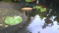 Koi fish in pond with dolly slite video