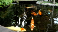 Koi fish in the pond video