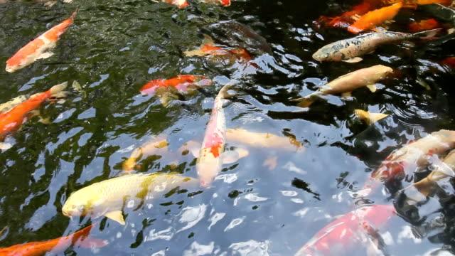 Koi fish swimming in pond video