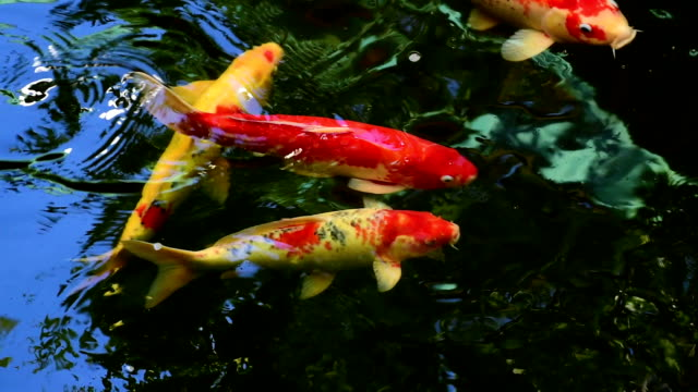 Koi fish swimming in the pond video