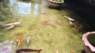 Koi fish swimming in water pond garden.Colorful carps video