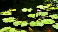 Koi Fish Swimming Under A Purple Lotus Flower Part 2 video