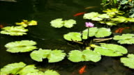 Koi Fish Swimming Under A Purple Lotus Flower Part 3 video