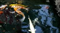 Koi Fish Swimming video