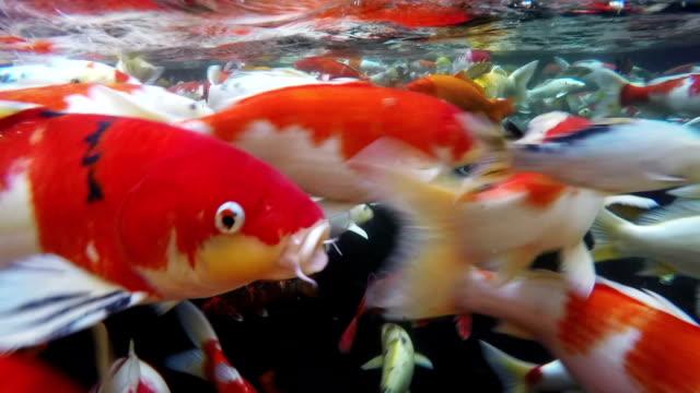 Koi fish Underwater. video