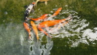 Koi Fish video