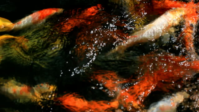 Koi fish video