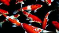 Koi fish. video