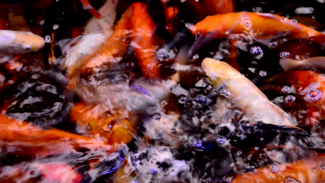 Koi Pond - Stock Video video