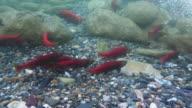 Kokanee Salmon Run (4k) video