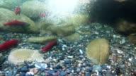 Kokanee Salmon Run (Slow Motion) video
