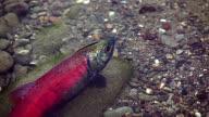 Kokanee Salmon (close up) video