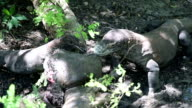 Komodo dragon eats a young buffalo. Rinca Island, Indonesia video