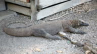 Komodo Dragon, the largest lizard in the world, Rinca Island, Indonesia. video