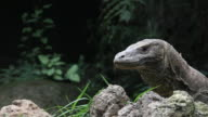Komodo dragon video