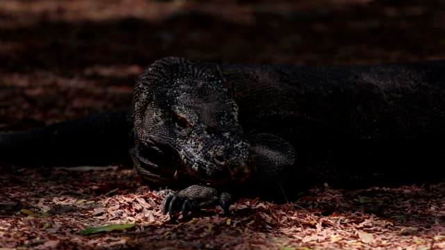 Komodo dragon video