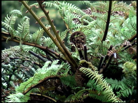 Koru Fern Frond:  Symbolizes Growth, New Life, Strength, Peace video