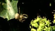 Kreuzspinne verpackt ihre Beute video