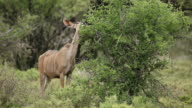 Kudu antelope feeding video