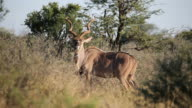 Kudu antelope video