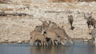 Kudu antelopes at waterhole video