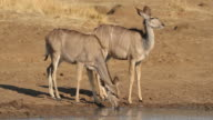Kudu antelopes drinking video