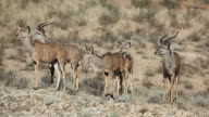 Kudu antelopes video
