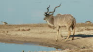 Kudu bull drinking video