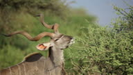 Kudu bull feeding video