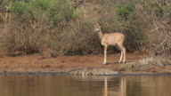 Kudu calf and crocodile video