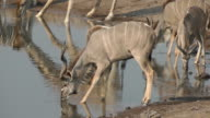 kudu drinking video