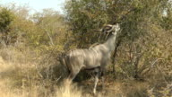 Kudu feeding video