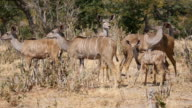 Kudu in Chobe National Park video