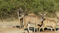 Kudu intimidation video