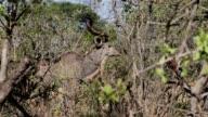 Kudu on african bush video