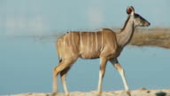Kudu Walking video
