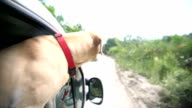 Labrador dog on the car window video