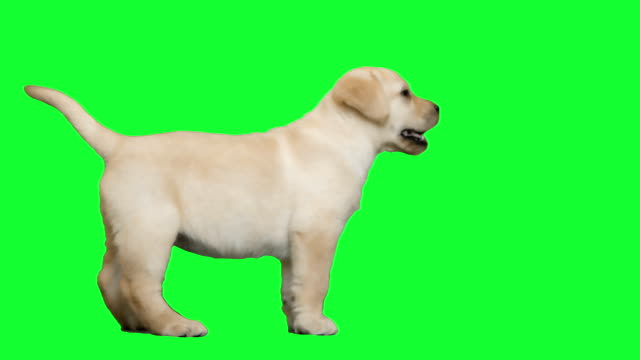 labrador on a green screen video