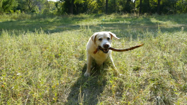 Labrador or golden retriever catch wooden stick into the mouth and eating it outdoor. Animal chew and biting a stick at nature. Dog playing outside. Summer landscape at background. Close up video