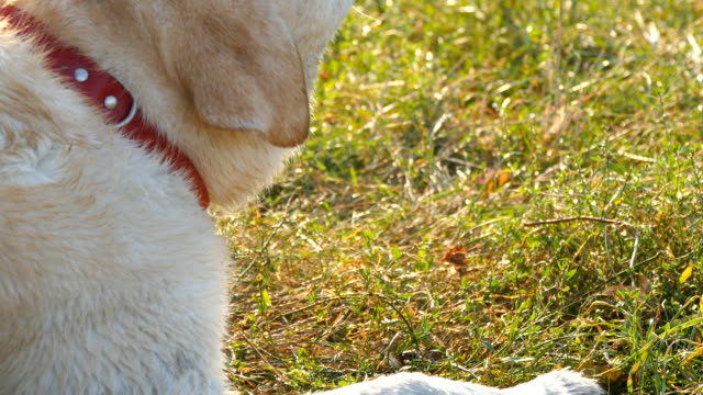 Labrador or golden retriever eating wooden stick outdoor. Animal chew and biting a stick at nature. Dog playing outside. Summer landscape at background. Muzzle close up video