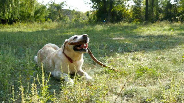 Labrador or golden retriver eating wooden stick outdoor. Animal chew and biting a stick at nature.  Dog playing outside. Summer landscape at background. Close up video