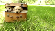 Labrador puppies in suitcase lying on green grass video