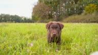 Labrador puppy in grass video